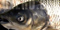 Амур в озерах России. Рыбалка и способы ловли амура