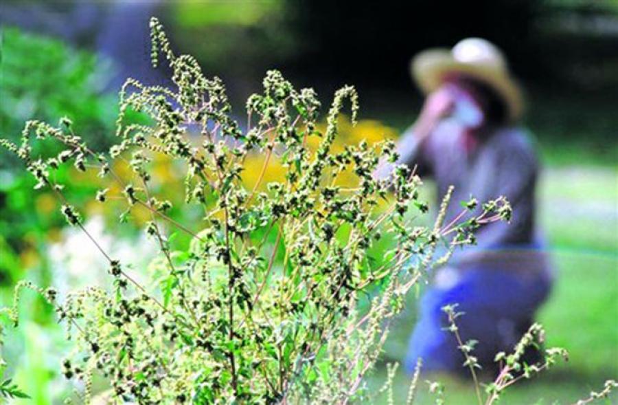 Новопятигорское озеро будет очищено от амброзии