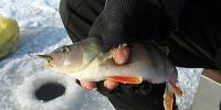 Рыбалка на окуня на балансиры в стоячей воде и на течении