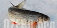 Чебак в озерах России. Рыбалка и способы ловли чебака