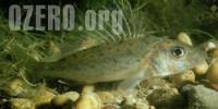 Ерш в озерах России. Рыбалка и способы ловли ерша