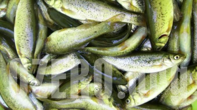 Гольян в озерах России. Рыбалка и способы ловли гольяна