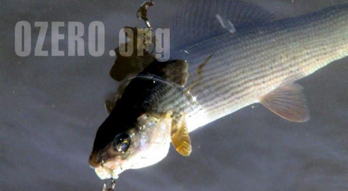 Общие сведения о хариусе, как о ловкой и сильной рыбе
