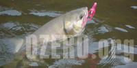 Кета в озерах России. Рыбалка и способы ловли кеты