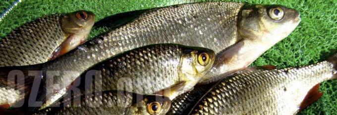 Красноперка в озерах России. Рыбалка и способы ловли красноперки