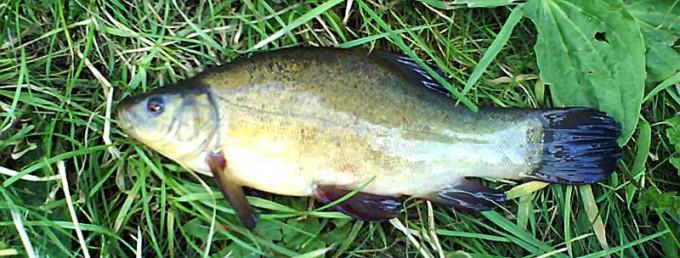 Линь в озерах России. Рыбалка и способы ловли линя