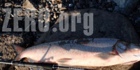 Нельма в озерах России. Рыбалка и способы ловли нельмы