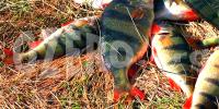 Окунь в озерах России. Рыбалка и способы ловли окуня