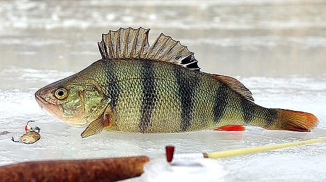 Больше 150 рыбаков и рыбачек на тюменском озере будут соревноваться в ловле чебаков и окуней
