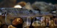 Пескарь в озерах России. Рыбалка и способы ловли пескаря