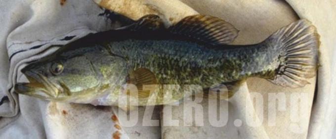 Ротан в озерах России. Рыбалка и способы ловли ротана