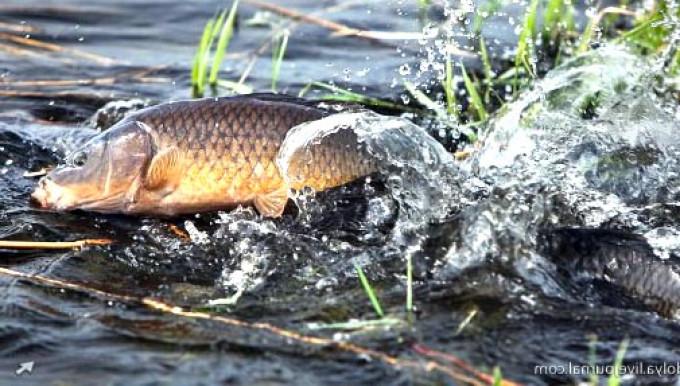 Сазан - рыба осторожная и хитрая