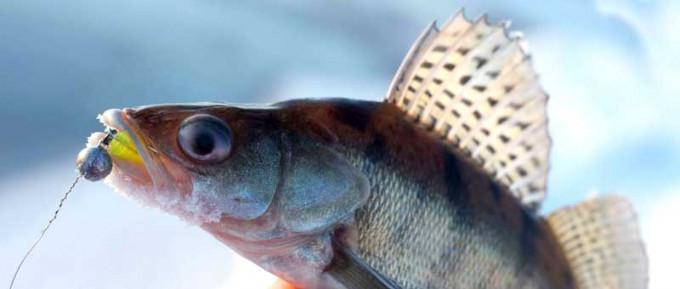 Судак в озерах России. Рыбалка и способы ловли судака