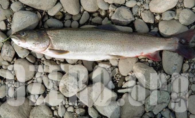 Таймень в озерах России. Рыбалка и способы ловли тайменя