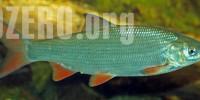 Тугун в озерах России. Рыбалка и способы ловли тугуна