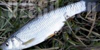 Уклея в озерах России. Рыбалка и способы ловли уклеи