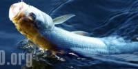 Рыбалка на жереха (способы ловли, наживка и снасти)